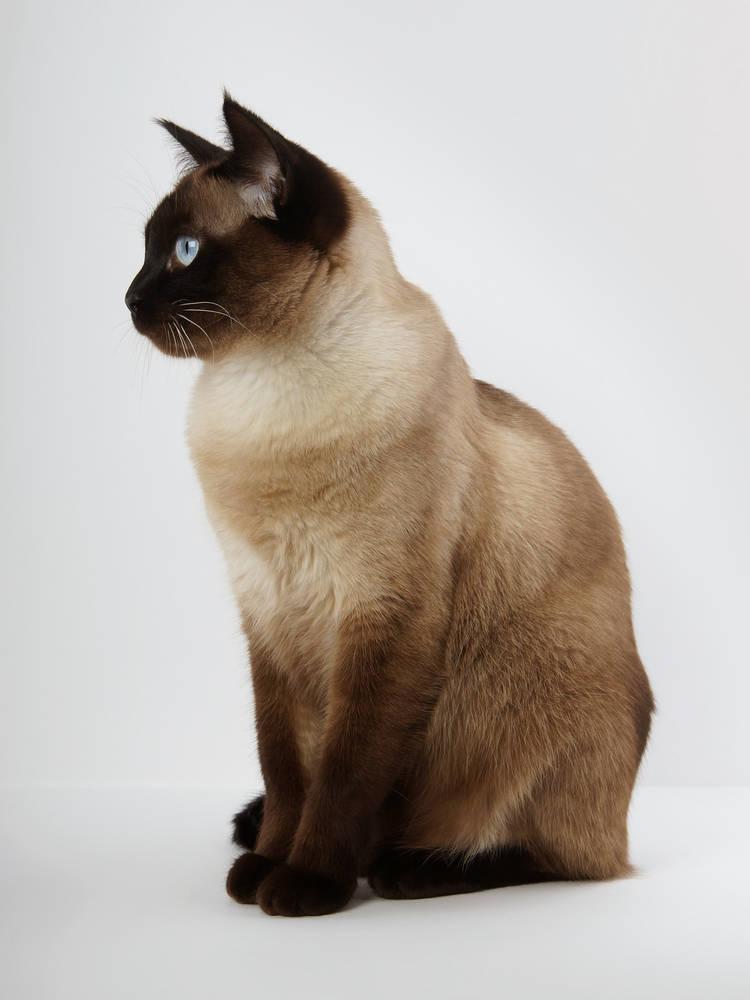 Gato Raza Siamés