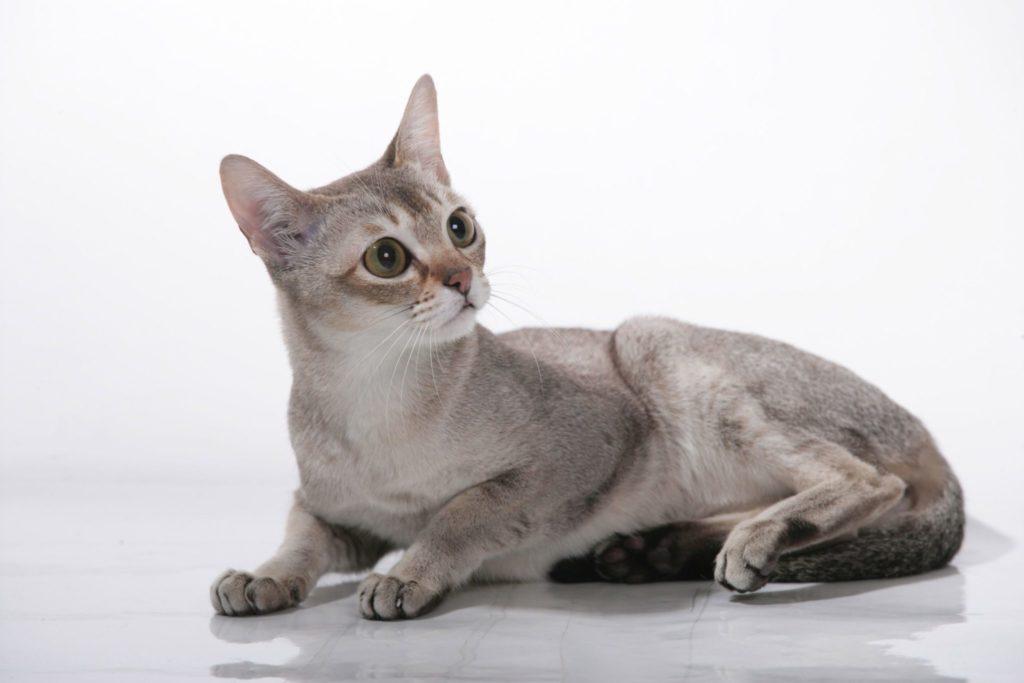 Gato Singapura