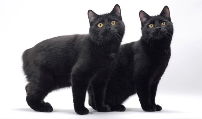 Gatos sin cola Raza Manx