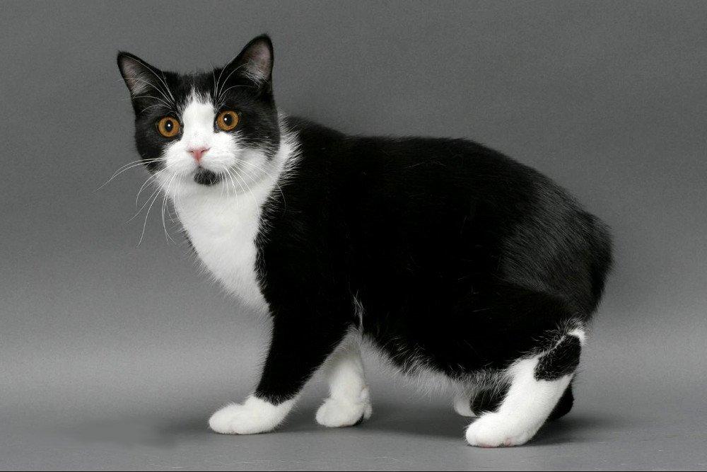 Raza de Gato Manx