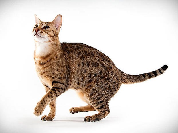 Raza de Gato Ocigato