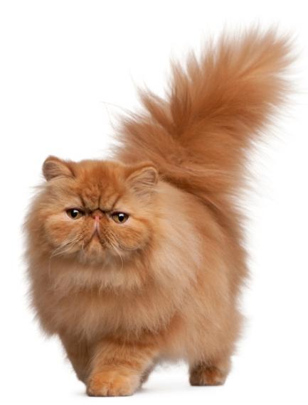 Gato Persa de Pelo Largo