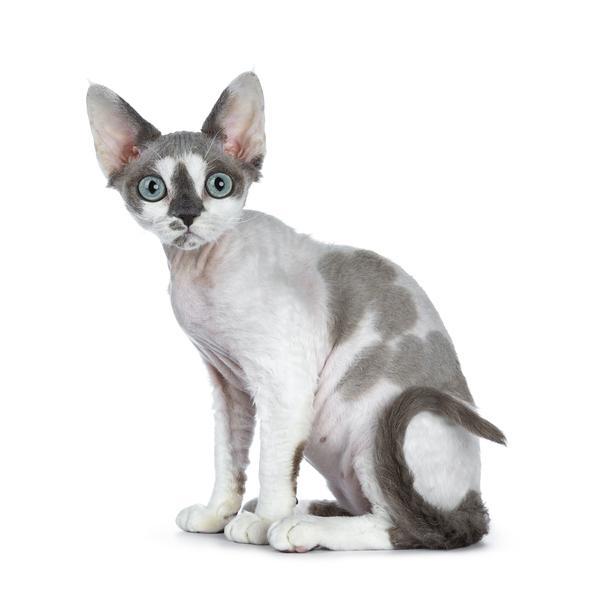 Raza de Gato Devon Rex