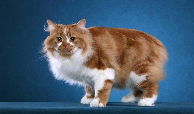 Raza de Gato Cymric