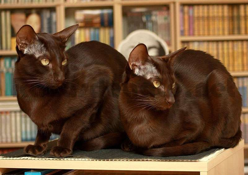 Gatos de Raza Habana Cafe  sentados