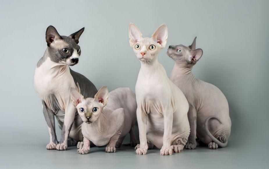 Gatos de Raza Esfinge