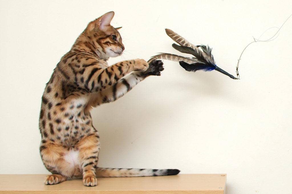 Gato jugando un plumero para gatos