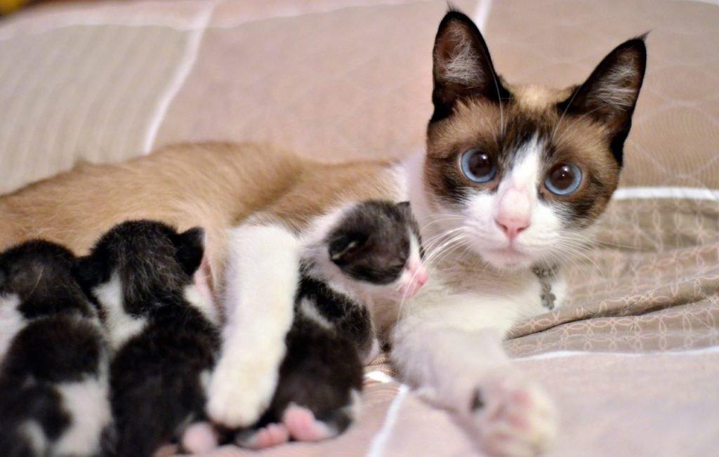 Las gatas no esterilizadas tienen varias crías durante todo su tiempo de vida