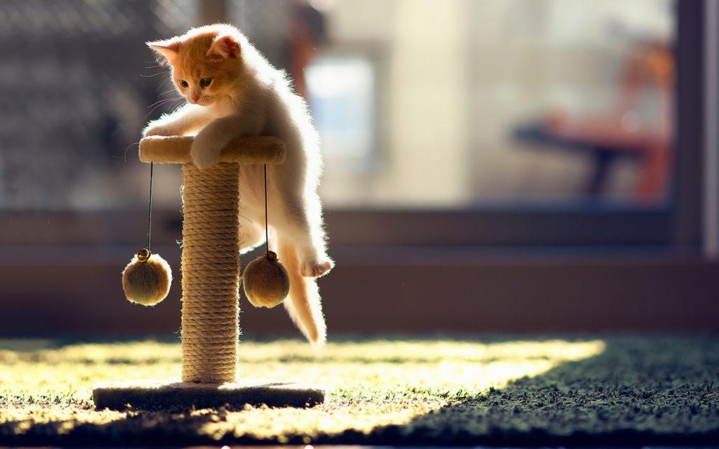 Gato pequeño jugando con su rascador y pelotitas