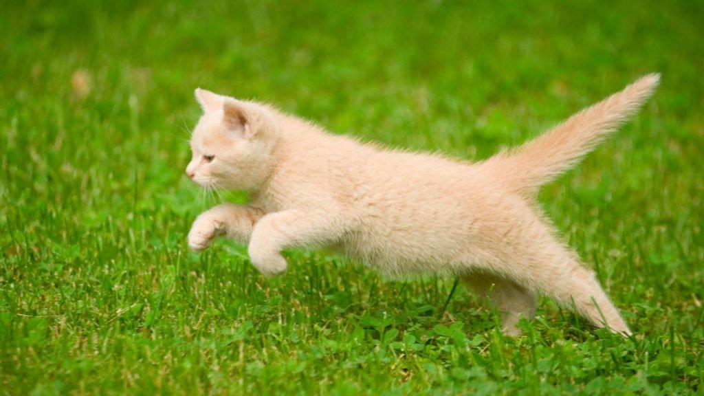 Los gatos esterilizados se vuelven más saludables