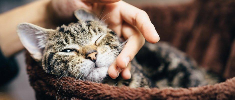 Mientras tu gato se recupera de la cirugía de esterilización debes consentirlo