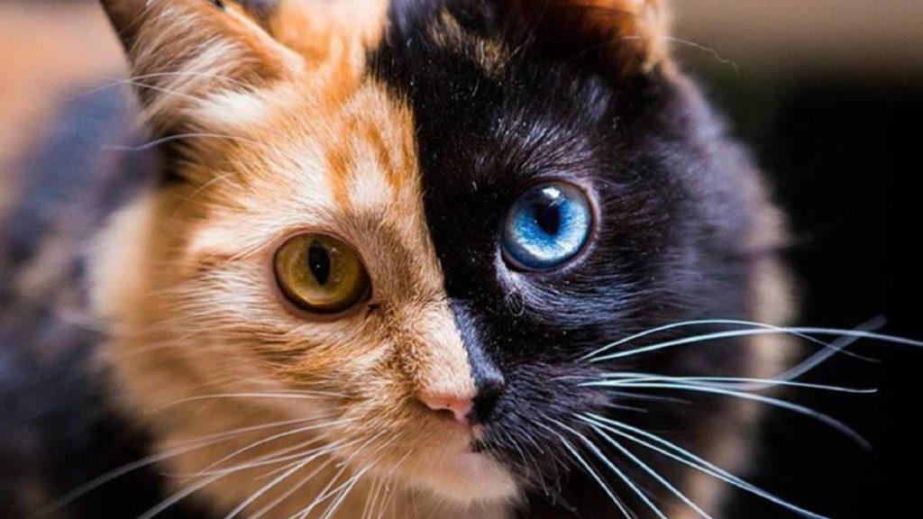 Gato de dos colores