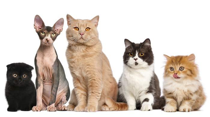 Gatos de distintas razas