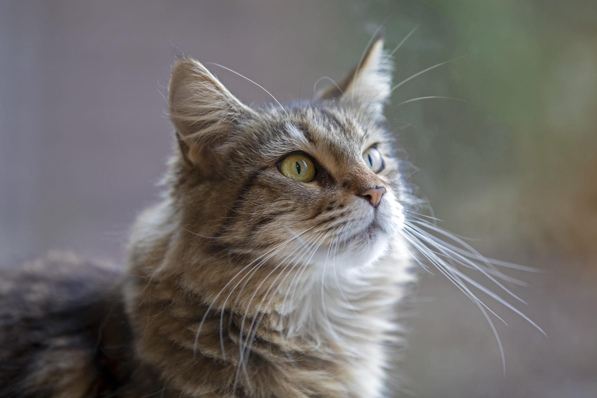 Gato observando fijamente